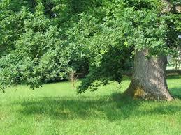 ... branches d'un grand chêne.